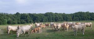sans-titre5 vaches